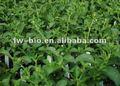 Pur naturel Stevia poudre d'extrait, Stevia rebaudiana extract-80 %, 90%, 95% stévioside