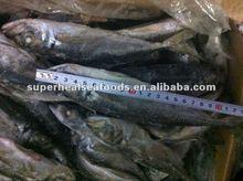 Sea frozen horse mackerel Trachurus japonicus