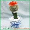 Mini Grafted cactus plant (Notocactus) succulent plants