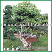 LIVE Taiwan Ficus bonsai tree