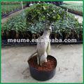 Greffé microcarpa ficus bonsaï plantes d'intérieur