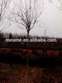 Indica lagerstromia- paisajismo de la floración floración de la planta de los árboles