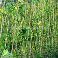 palos de bambú naturales para la decoración