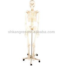 Adult skeleton(medical model,anatomical model)