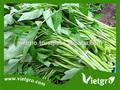 De alto rendimiento f1 kang kong/agua espinacas semillas para la siembra de vgkk 021