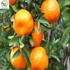 mandarin orange in price