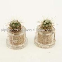 "Miniplant ""Glory cactus"""