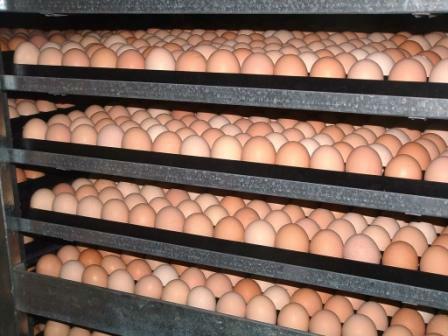 Cobb 500 Broiler Chicken Fertile eggs