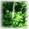 Black cohosh extract 2.5% 1000kg Triterpenoid saponinson sale