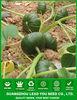 PU10 Beili early maturity f1 hybrid sweet pumpkin seeds, seeds for planting