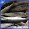 entreprise de fruits de mer congelés maquereau entier à la vente
