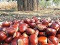 Organiques châtaigne fraîche-- les meilleurs marrons chinois-- kuancheng châtaignes