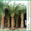 Phoenix Sylvestris Palm trees (Garden Plants for sale)