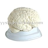 Humano anatomía modelo del cerebro - modelo anatómico