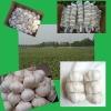 China Fresh Pure White Garlic
