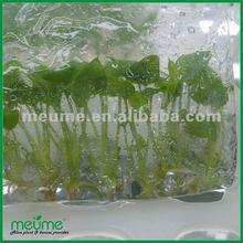 Tissue culture plantlets (plant nursery)