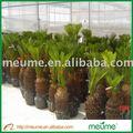 cycas revoluta jardinería al aire libre verde las semillas de árboles