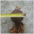 Cycas revoluta bombillas plantas tropicales nursery