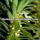 100% Natural Melaleuca Tahti. extract