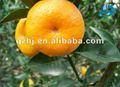 Frutas frescas da época ( tangerina )