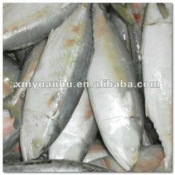 Frozen Indian mackerel exports