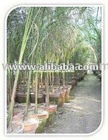 Roystonea Regia Royal Palm Tree Plants &amp; Seedlings Suppliers