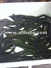 Live American eel - Anguilla rostrata (live glass eels and adult)