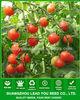 TT01 Laike round f1 hybrid cherry tomato seeds, vegetable seeds