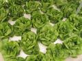 المحاصيل الجديدة 2013 f1 دسم الزبدة رئيس الهجين بذور الخس-- أوراق الخس
