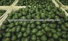 HOT NEWS- FRESH AVOCADO - TASTY AND BEST PRICE