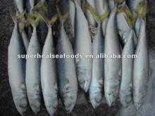 Frozen pacific mackerel Scomber japonicus BQF