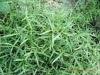 Herba Hedyotidis Diffusae Extract Powder
