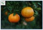 fresh Mandarin Orange price