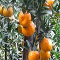 lista de frutas cítricas laranjasfrescas