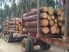 RADIATA PINE LOGS FOR CONSTRUCTION