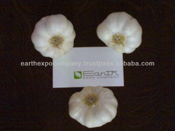 Indian Fresh Garlic supplier