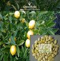 Fruits de citron graines d'arbres( d'agrumes.)