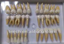 dental instrument teaching system teeth model dental supply