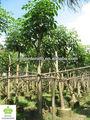 Tabebuia rosea paisagismo árvore mindinho flor da árvore