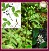 Natural Radix Sophorae Tonkinensis Extract