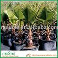 livistona chinensis abanico chino de árboles de palma chino de árboles tropicales nombre