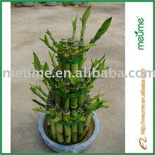 Tower Braided Lucky Bamboo Plant For Sale Dracaena Sanderiana