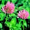 Red Clover Leaf e p