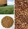 China buckwheat roasted price