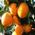 frutos de laranja lista de frutas cítricas