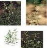 BAI HUA SHE SHE CAO - Herba Hedyotidis diffusae EXTRACT