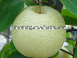 Fresh Golden Pear New Crop 2014