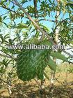 graviola ORGANIC BIO (leaves powder)