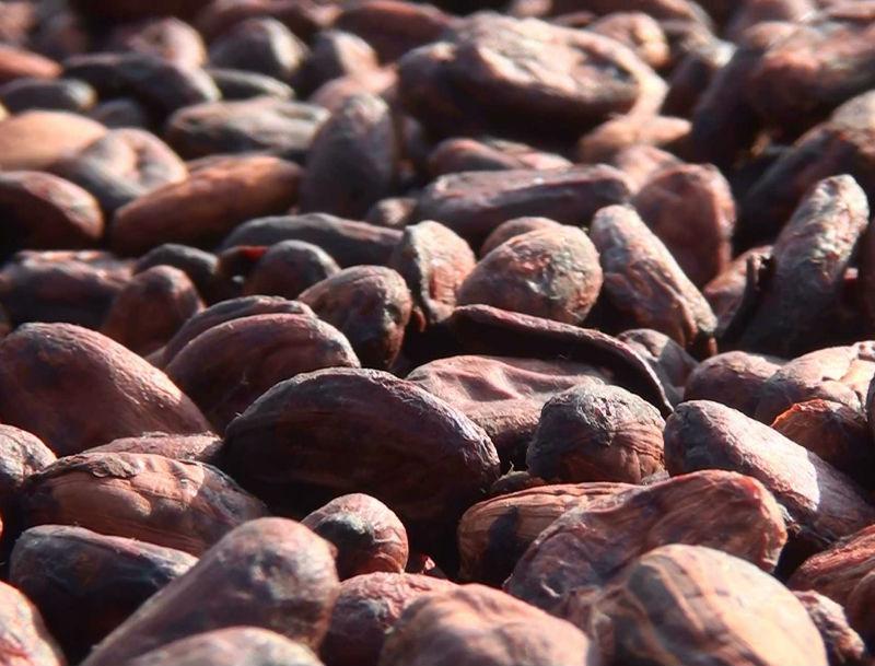 Furmentation Cocoa Beans (CBB)