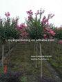 Lagerstroemia indica 1.4-1.5m alta do tronco da árvore paisagismo